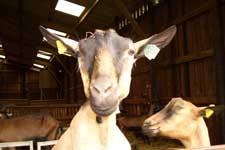 Nieuwsgierige geit